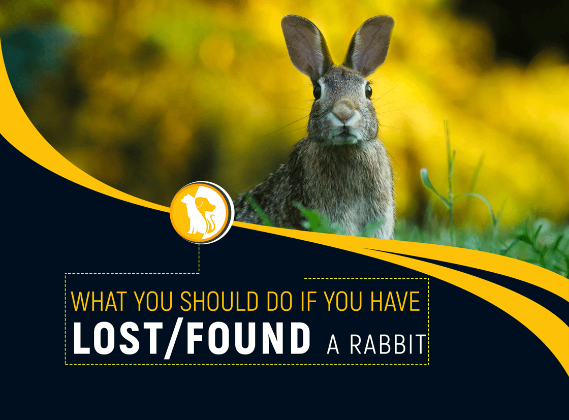 Here is What You Should Do If You Have Found/ Lost a Rabbit
